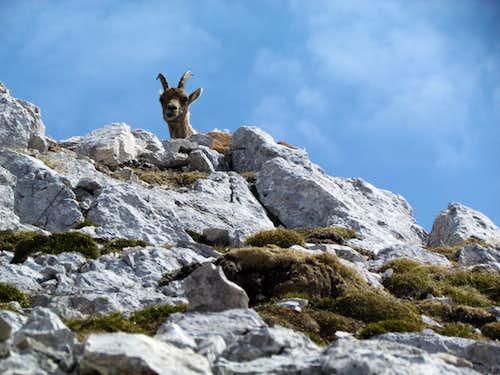 puzzled ibex