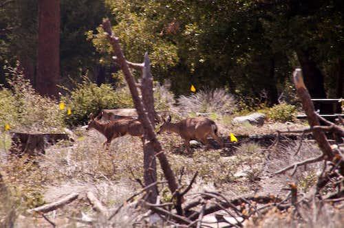 Deers at Crystal Lake Campground