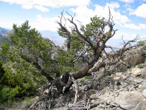 Bristlecone atop Worthington