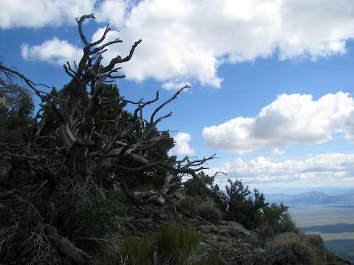 Gnarled Pines