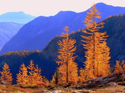 Golden Larches looking Bright