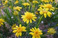 Olancha Wildflower
