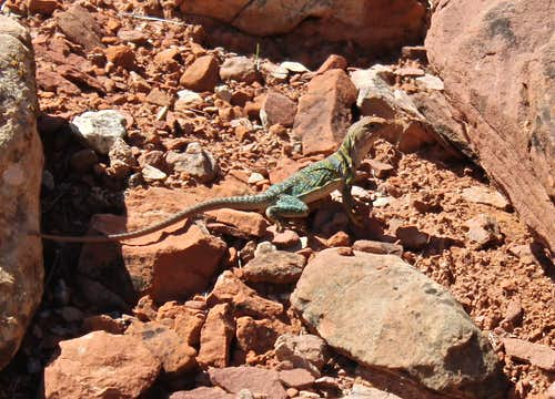 Yellow headed Collared Lizard