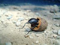 Stinkbug in an Acorn