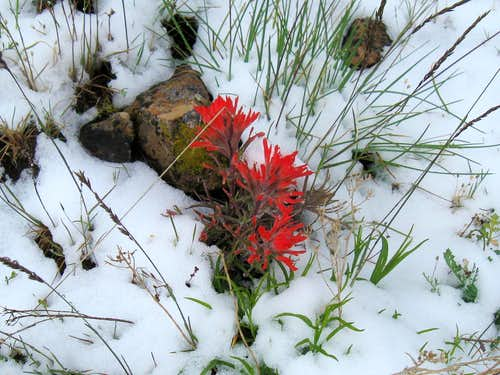West Mountain Indian Paintbrush