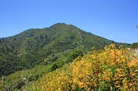 Fiddleneck and  Mt. Tamalpais