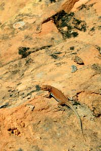 Sagebrush Lizard, Maybe