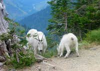 Glad Mountain Goats