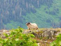 Marmot on Mt. Roberts Trail