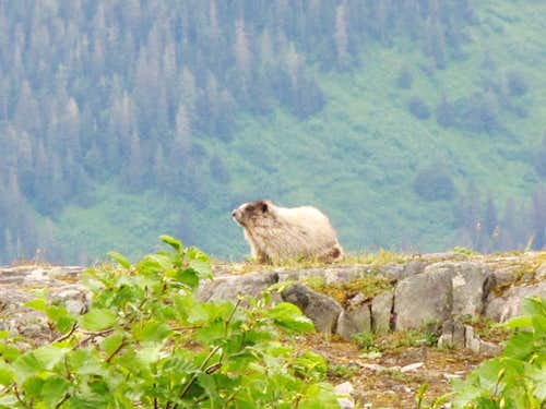 Marmot on Mt. Roberts Trail