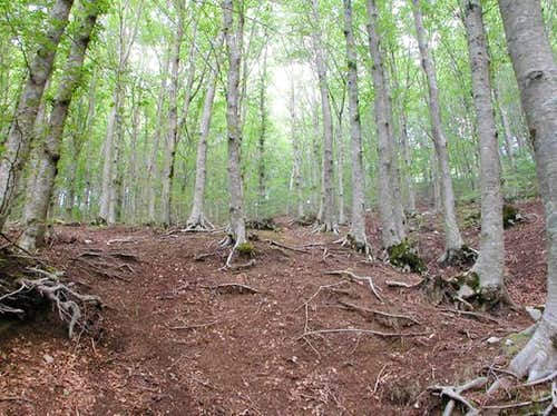 The beech trees that it...