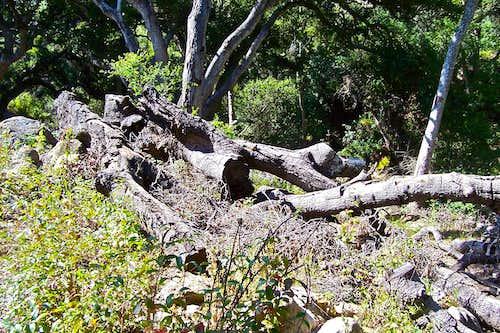 Fallen oak trees