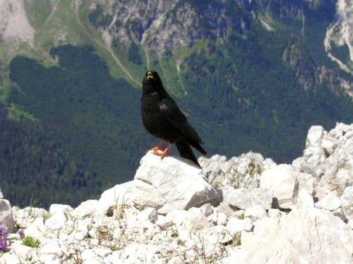 A mountain jackdaw on the...