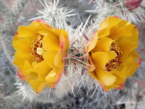 Cacti Bloom