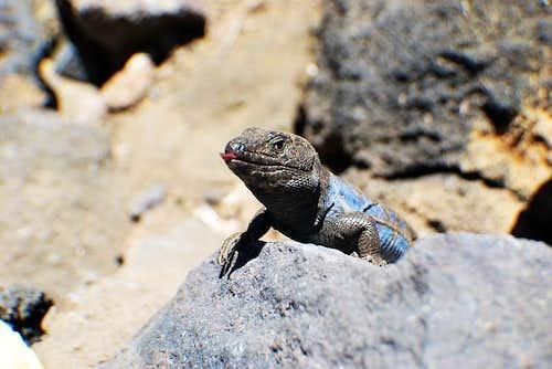 Teide lizard