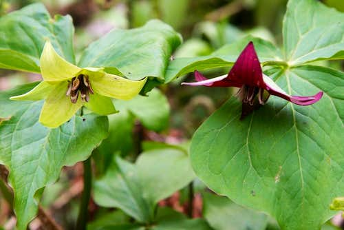 not-so-red trillium