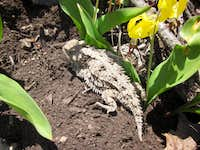 Horney toad