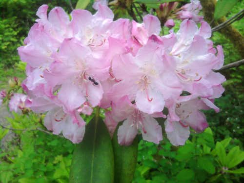 Rhododendrons on the path