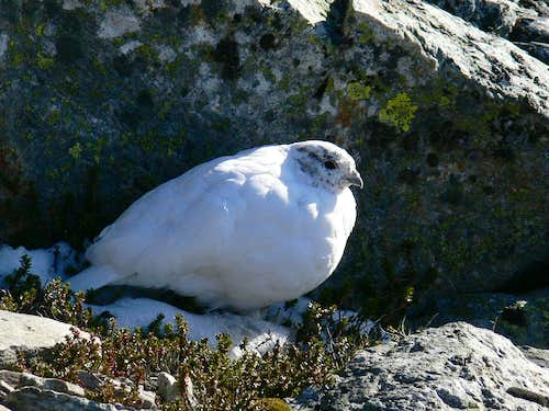 Ptarmigan on Sahale