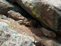Marmot near Window Rock