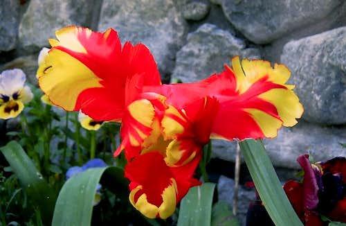 Flora on Aosta Valley
