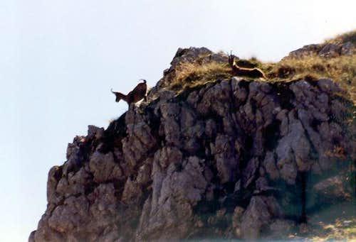 Chamoises on Monte Petroso