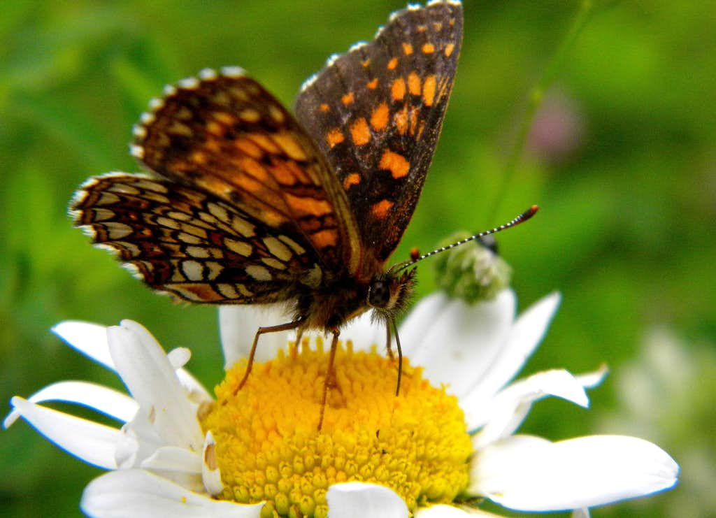 Butterfly on Bellis perennis