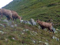 Chamois of the Tatras