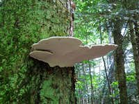Enormous mushroom