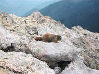 Marmot on Signal Mountain