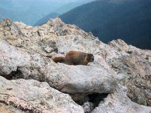 Marmot on Signal Mountain