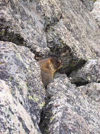 Marmot peeking out of the rocks
