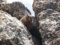 Marmot from below