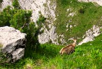 Chamois in the Closed Glade (Poiana Inchisa)