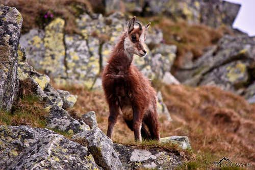 Chamois youngster