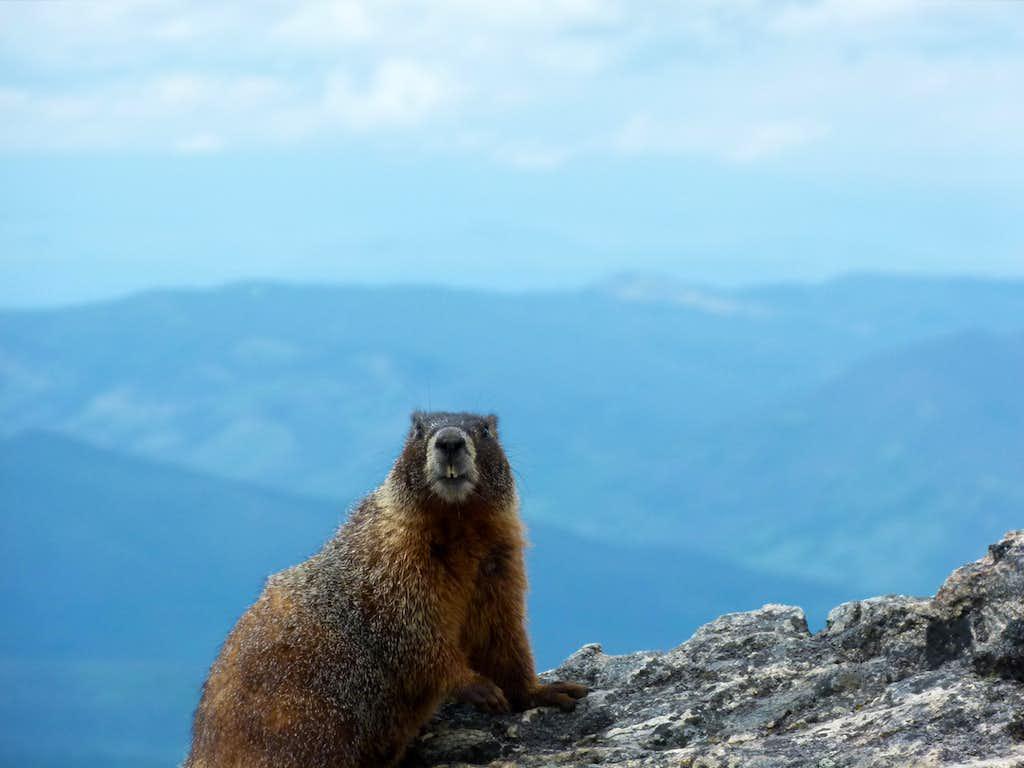 Marmot on top of James Peak