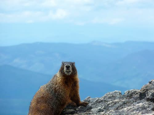 Marmot on top of James Peak