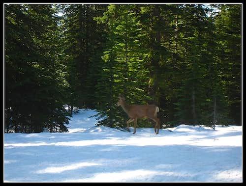 A morning deer