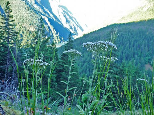 White Flowers on Stetattle Ridge