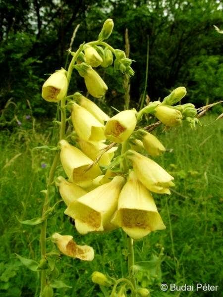 <b>Big-flowered Foxglove</b> - <i>Digitalis grandiflora</i>