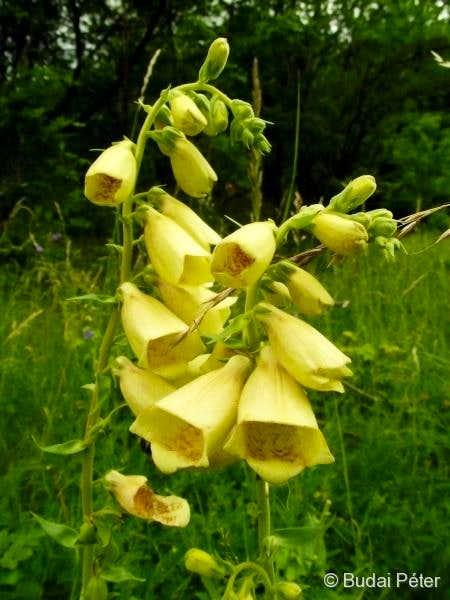 <b>Big-flowered Foxglove</b> - <i>Digitalis grandiflora</i>