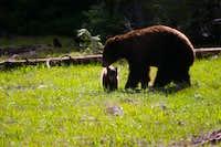 Black bear with playful cub