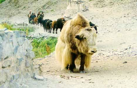 A Yak in markha Valley