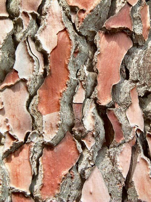 Bavedda pino laricio