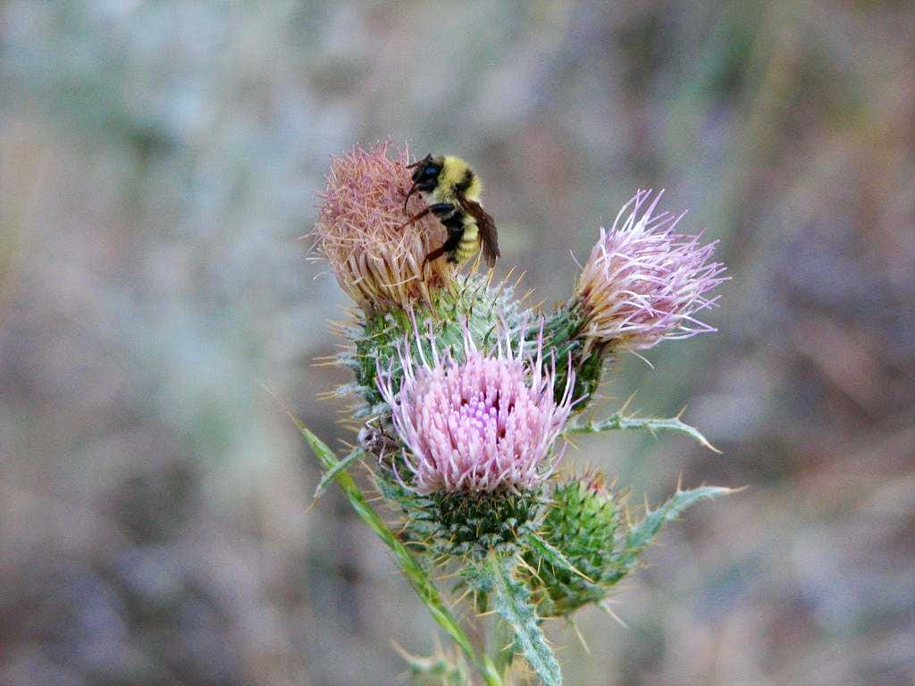 Bee on Thistle, Lost River Peak, Idaho