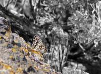 Butterfly on Menan Butte