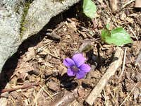 Purple Flower on Tibbet Knob