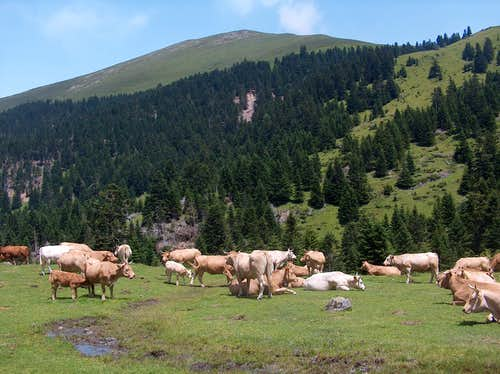 Cows in Bareilles valley