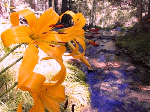 Lemon Lilies along Fish Creek