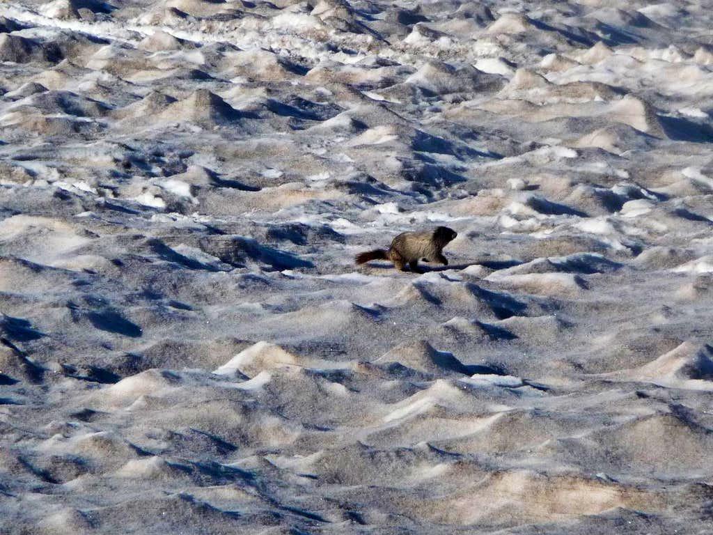 Marmot Running in the Snow